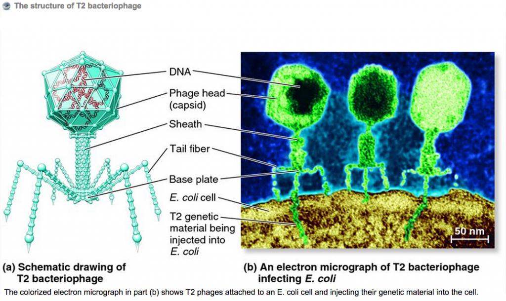 Бактериофаг T2