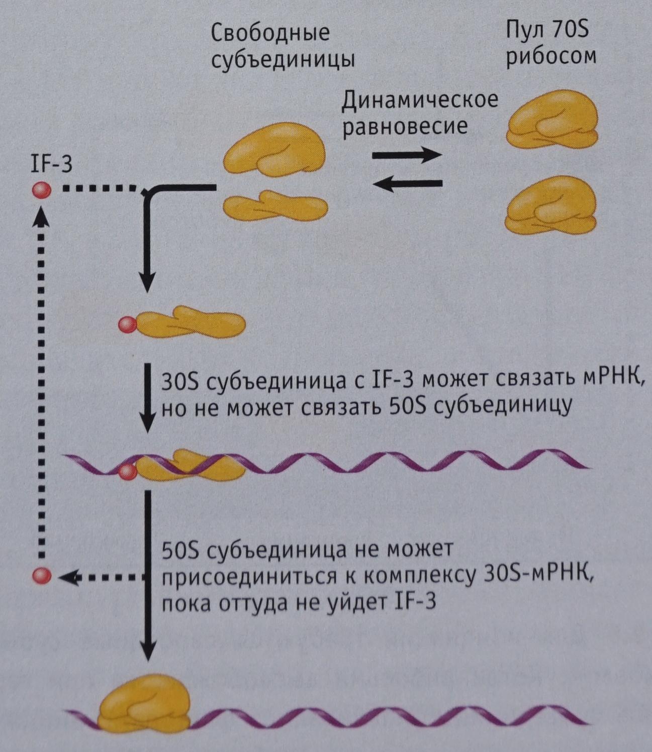 Взаимодействие IF-3 и рибосом