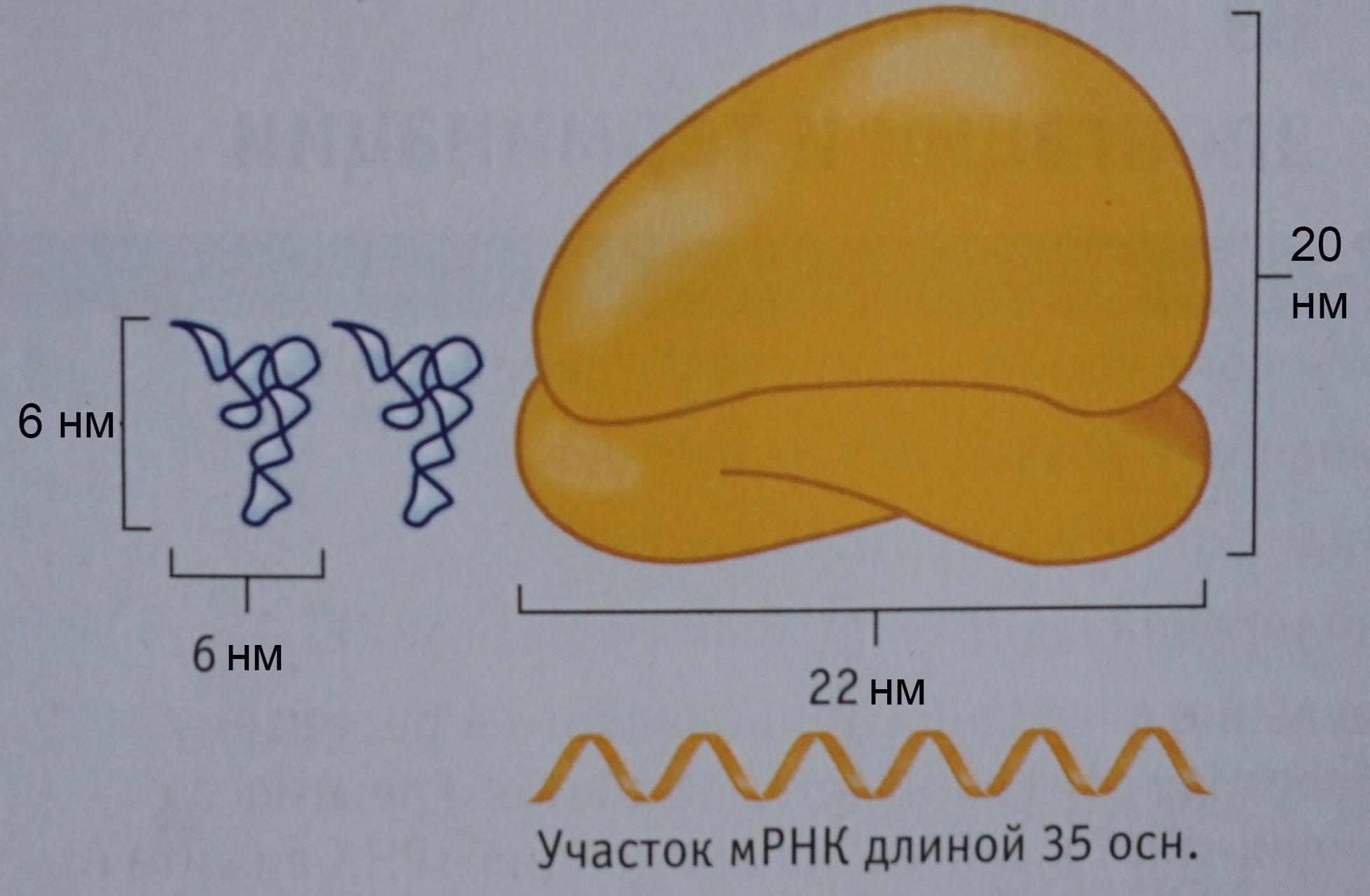 Рибосома-тРНК-мРНК