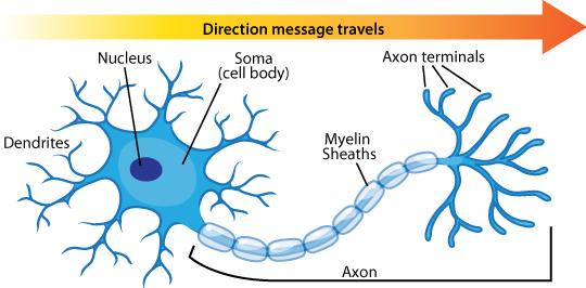 направление нервного сигнала