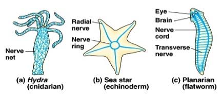 нервные системы - гидра, морская звезда, планария