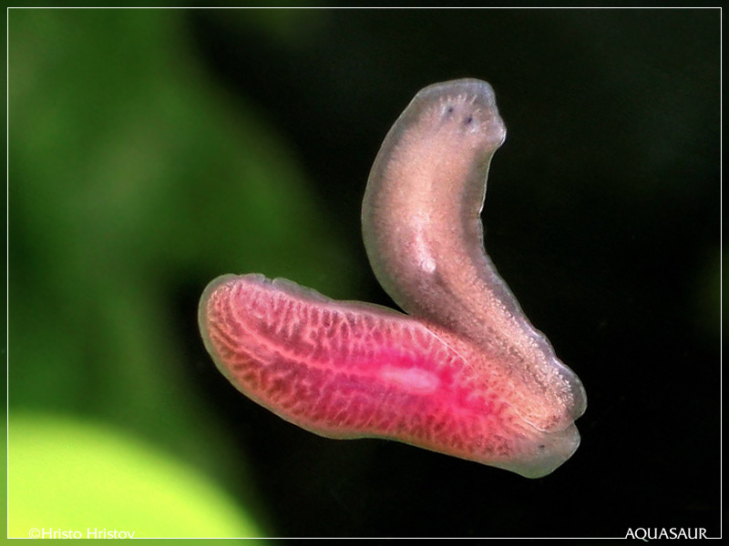 розовая планария