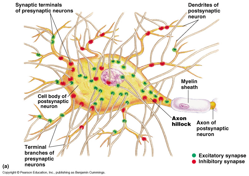 синапсы