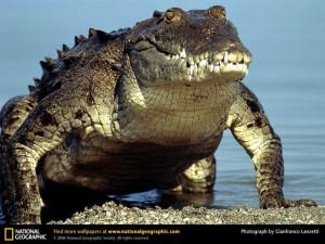 grebnistui-krokodil20