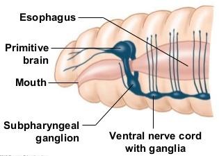 nervous-system-earthworm