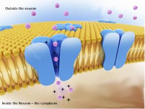 мембрана нейрона