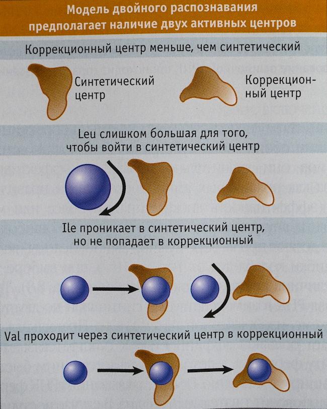модель двойного распознавания Ile-тРНК-синтетазы