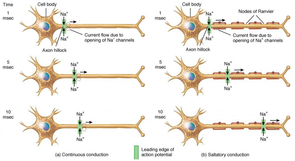 потенциал действия в миелинизированном и немилиезированном волокнах