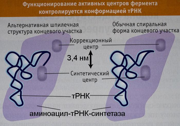 синтетический и коррекционный центры Ile-тРНК-синтетазы