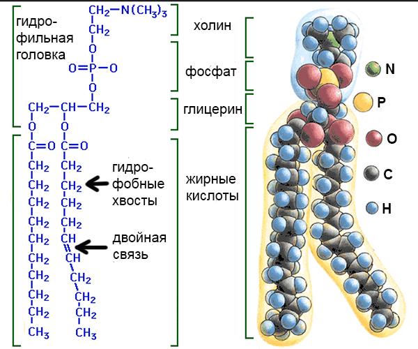 фосфолипид-1