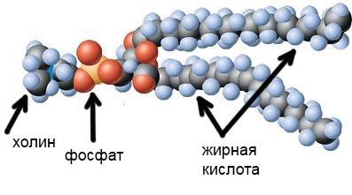 фосфолипид-2