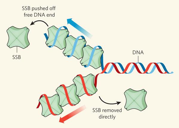 SSB-proteins