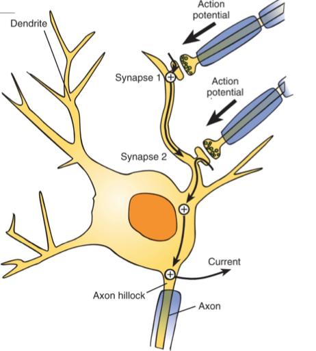 neuron postsynaptic potentials