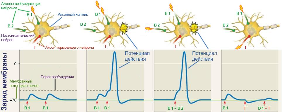 postsynaptic potential