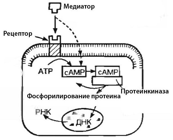 медиатор-2