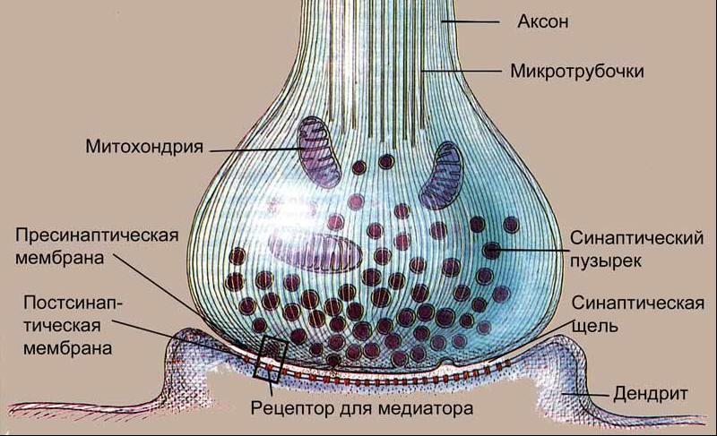 синапс2