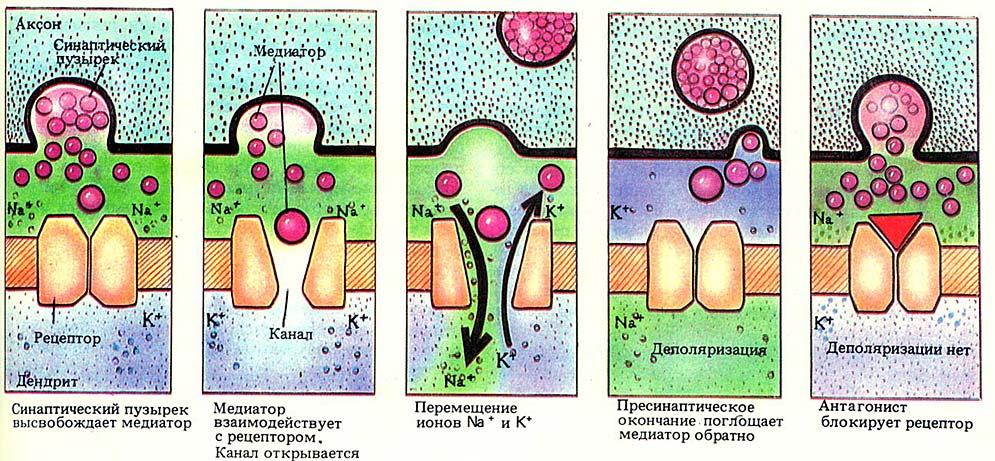 синапс4