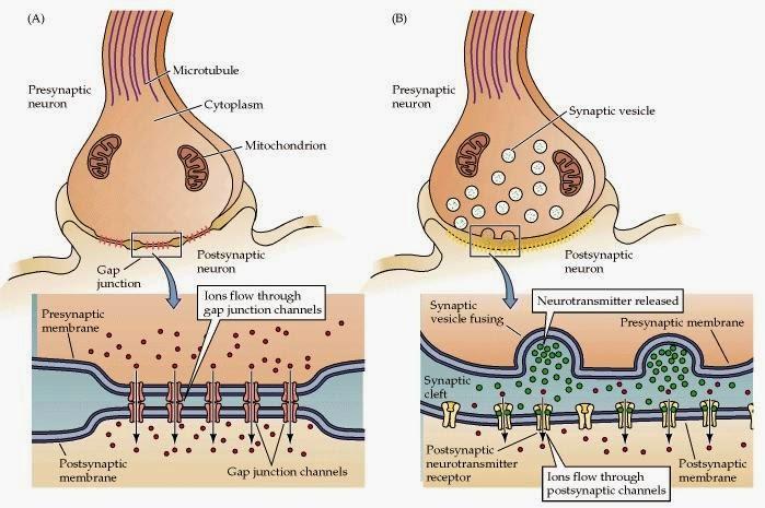synapse electrique chimique