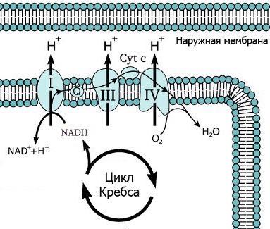 Дыхательная цепь 3