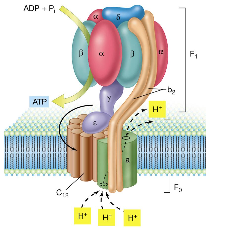ATPsynthase2