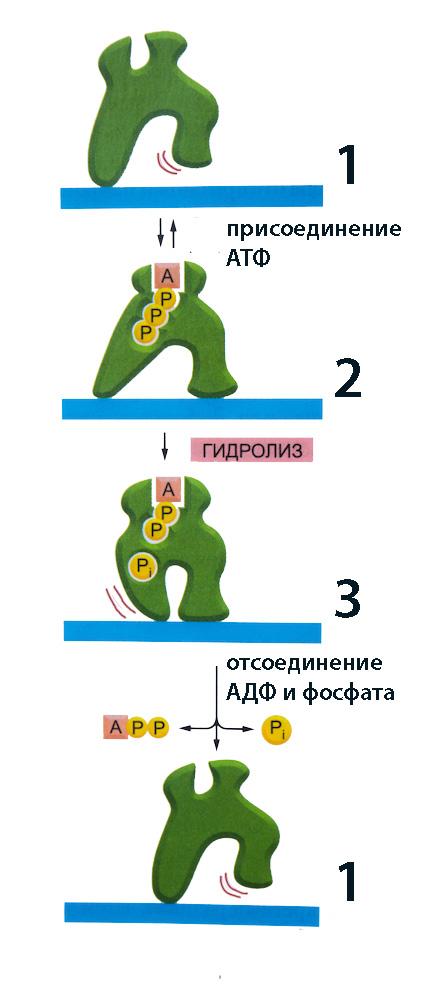 napravlennoe-dvizhenie-proteina