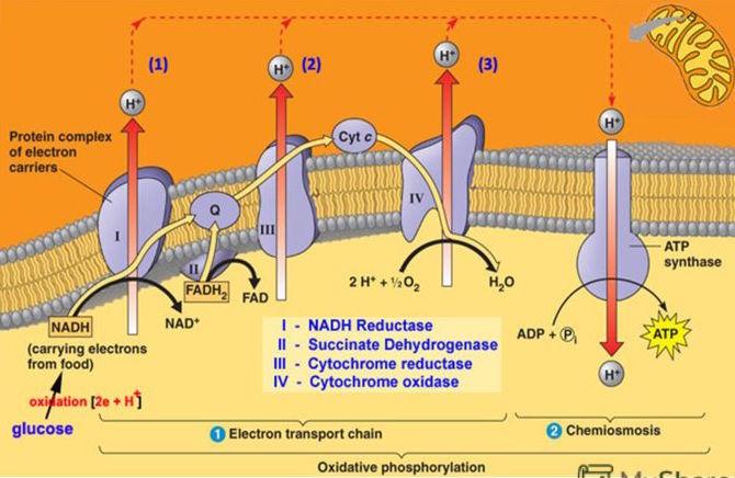 dyxatelnaya-cep-mitoxondrii-uproshhenno