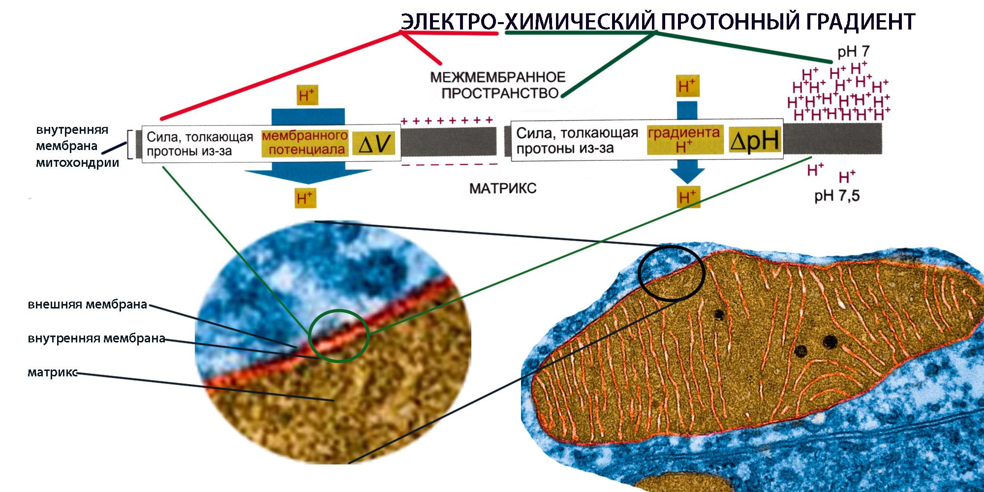 protonnyi%cc%86-elektroximicheskii%cc%86-gradient