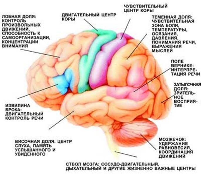 funkcionalnye-zony-golovnogo-mozga