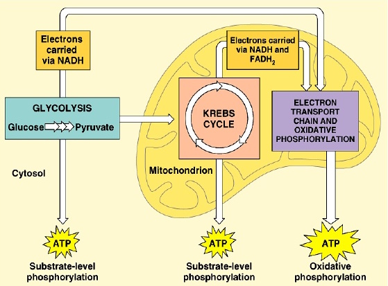 cell-metabolism