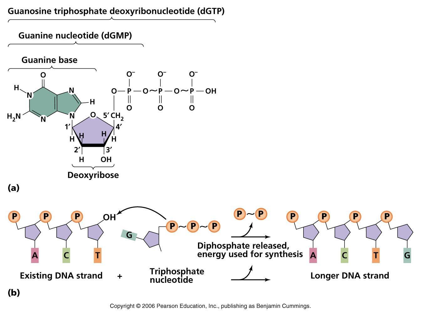 nucleotide-polymerization