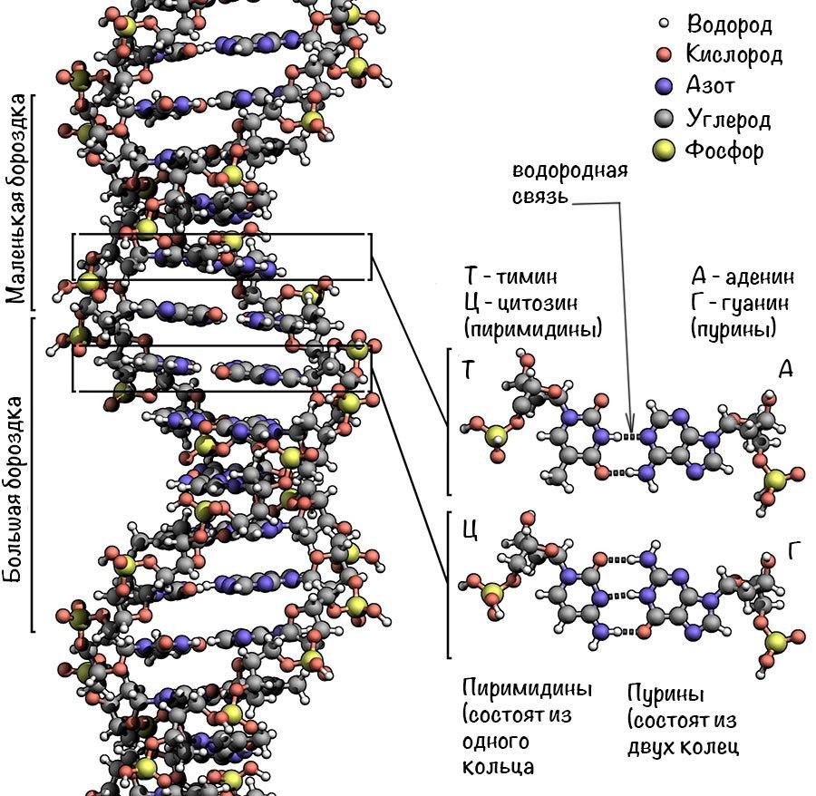 Схема строения нуклеотидов днк
